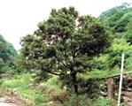 タチバナの大木
